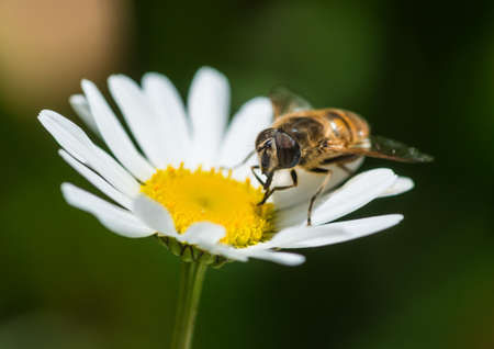 A macro shot of a hoverfly collecting pollen from a corn chamomile bloom. Stock Photo
