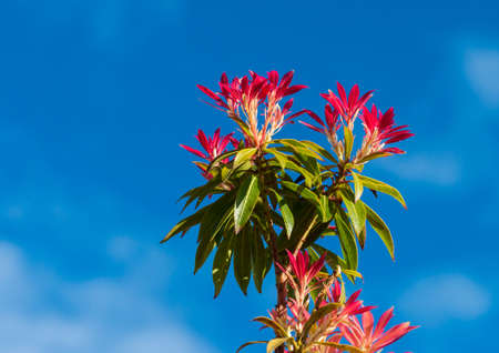 The red leaves of a forest flame bush shot against a blue sky.