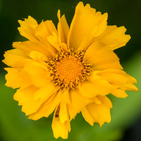 A macro shot of a yellow coreopsis bloom.