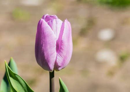 A macro shot of a pink tulip flower bud.
