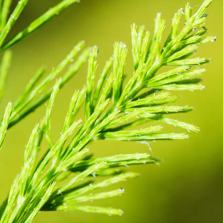 A macro shot of the nightmare weed, horsetail grass.