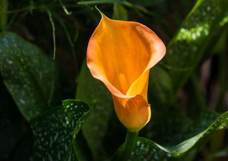 A macro shot of an orange calla lily bloom.