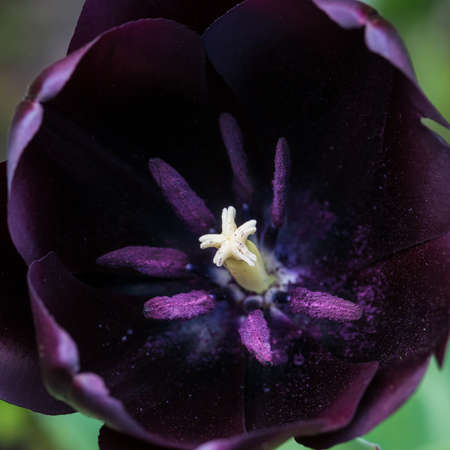 A macro shot looking inside tulip queen of the night.