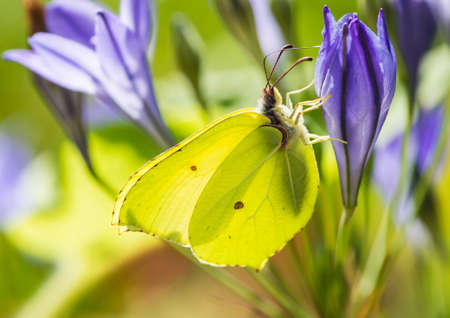 A macro shot of a brimstone butterfly collecting pollen from a blue grassnut bloom.
