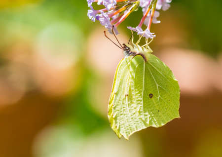 A macro shot of a brimstone butterfly collecting pollen from a butterfly bush bloom. Stock Photo