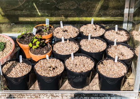 liverwort: A shot of some potted up dahlia tubers in a greenhouse.