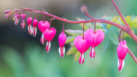 A macro shot of some bleeding heart plant blooms.