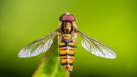 A macro shot of a hoverfly at rest on a leaf.