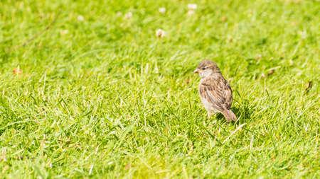 A shot of a juvenile sparrow standing on a garden lawn. Stock Photo