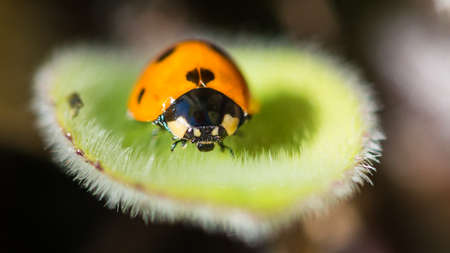A macro shot of a seven spotted ladybird.