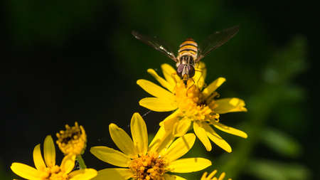 A macro shot of a hoverfly collecting pollen from a yellow ragwort bloom.