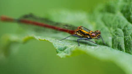 A macro shot of a large red damselfly sitting on a green leaf.