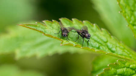 A maco shot of a pair of flies sitting on a green leaf.