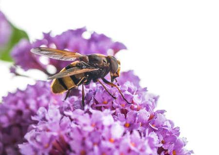 大規模なハナアブ mimicing スズメバチのマクロ撮影 写真素材