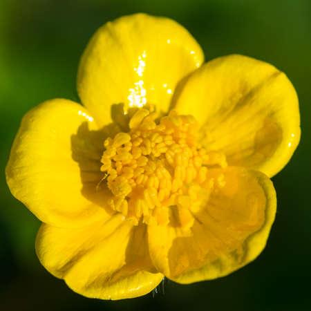 A macro shot of a buttercup bloom.