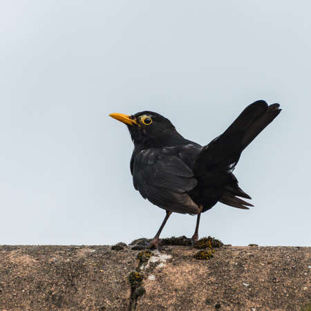 A shot of a male blackbird sitting atop a roof. Stock Photo