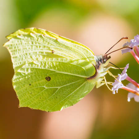 gonepteryx: A macro shot of a brimstone butterfly collecting pollen from a butterfly bush bloom. Stock Photo