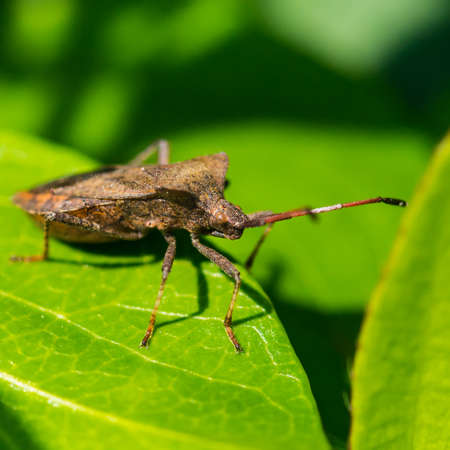 A macro shot of a dock bug sitting on a green leaf.