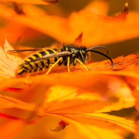 A macro shot of a common wasp sat in an acer palmatum tree.