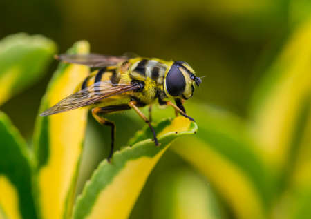 A macro shot of a hoverfly resting on a green leaf. Stock Photo