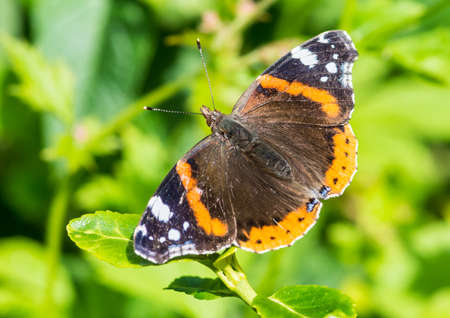 A macro shot of a red admiral butterfly. Stock Photo