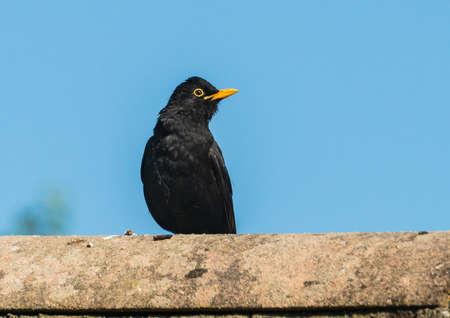 A shot of a blackbird standing on a rooftop.