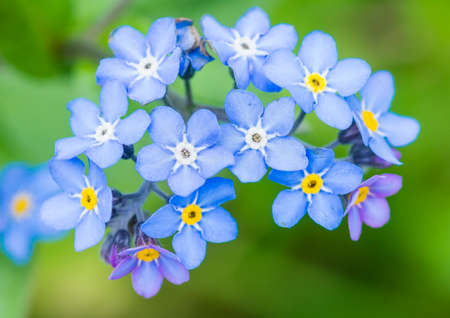 A macro shot of a clump of blue forget me not blooms.
