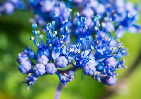 A macro shot of some blue lacecap hydrangea bush blooms. Stock Photo