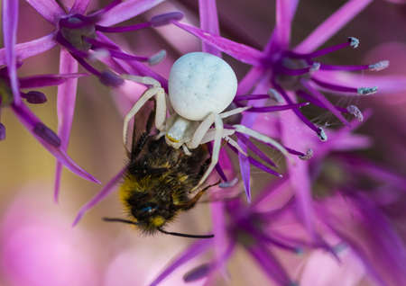 A macro shot of a crab spider feeding on a bumblebee. Stock Photo