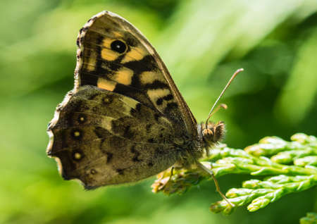 A macro shot of a speckled wood butterfly resting on a conifer tree.