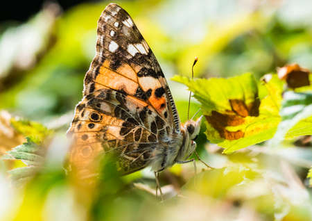 A macro shot of a painted lady butterfly sitting in the green leaves of a hedgerow. Stock Photo