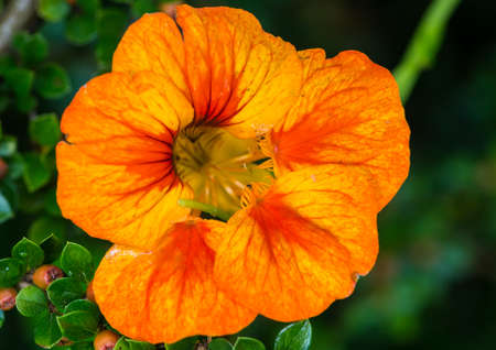 A macro shot of an orange coloured nasturtium bloom.