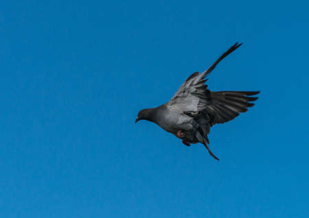 A shot of a feral pigeon leaping into flight. Stock Photo