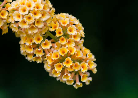 A macro shot of some yellow butterfly bush blooms. Stock Photo