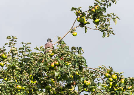 A shot of a woodpigeon sitting in an apple tree. Stock Photo