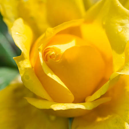 A macro shot of a yellow rose.