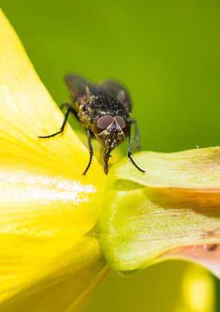 A macro shot of a fly sitting on an evening primrose flower. Stock Photo