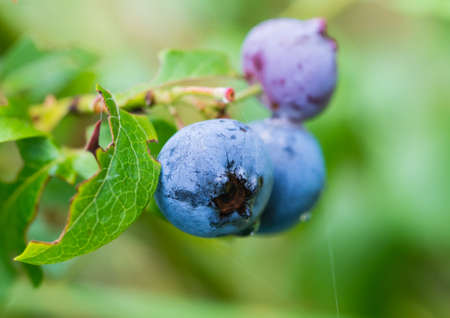 A macro shot of some plump blueberries growing on a blueberry bush.