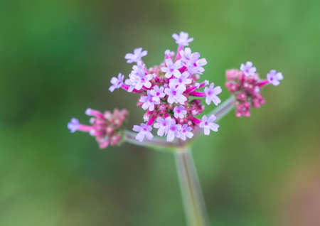 A macro shot of a lilac coloured verbena flower head. Stock Photo