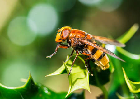 A macro shot of a hornet mimic hoverfly resting on the green leaves of a holly bush.