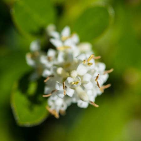 A macro shot of some privet hedge blossom.