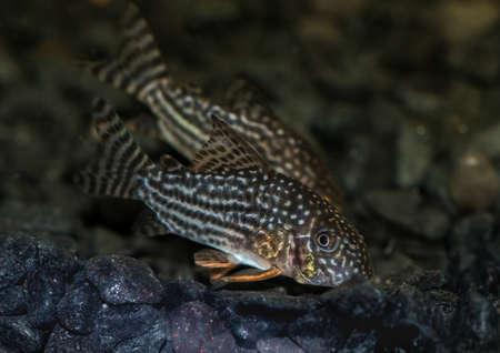 catfish: A macro shot of a corydoras sterbai catfish in an aquarium. Stock Photo