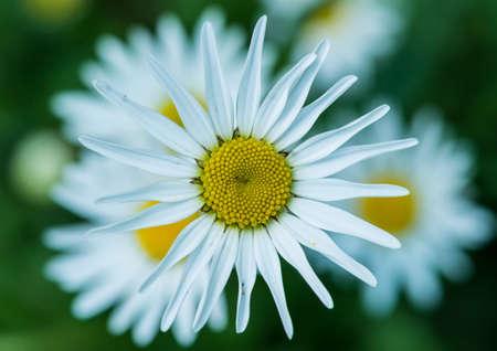 A macro shot of an oxeye daisy bloom. Stock Photo