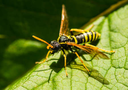 A macro shot of a figwort sawfly. Stock Photo