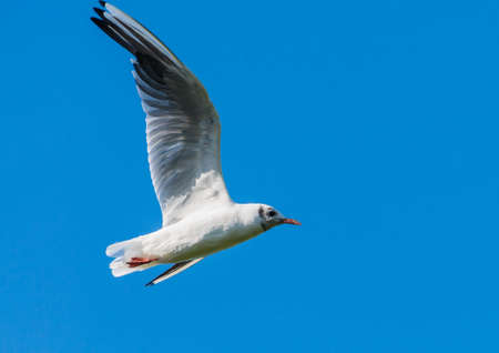 A shot of a black headed gull flying through a blue sky. Stock Photo