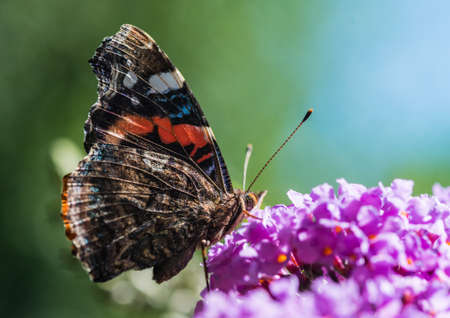A macro shot of a red admiral butterfly collecting pollen from a butterfly bush.