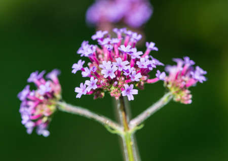 A macro shot of the lilac flowers of a verbena plant. Stock Photo