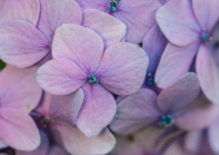 A macro shot of the tiny flower of a mophead hydrangea bush. Stock Photo