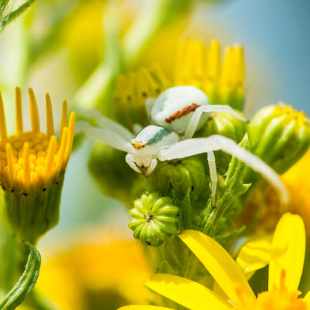 A macro shot of a crab spider hiding out in some ragwort blooms. Stock Photo