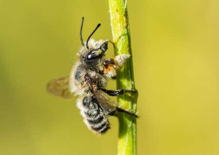 A macro shot of a leaf cutter bee climbing up a flower stalk.